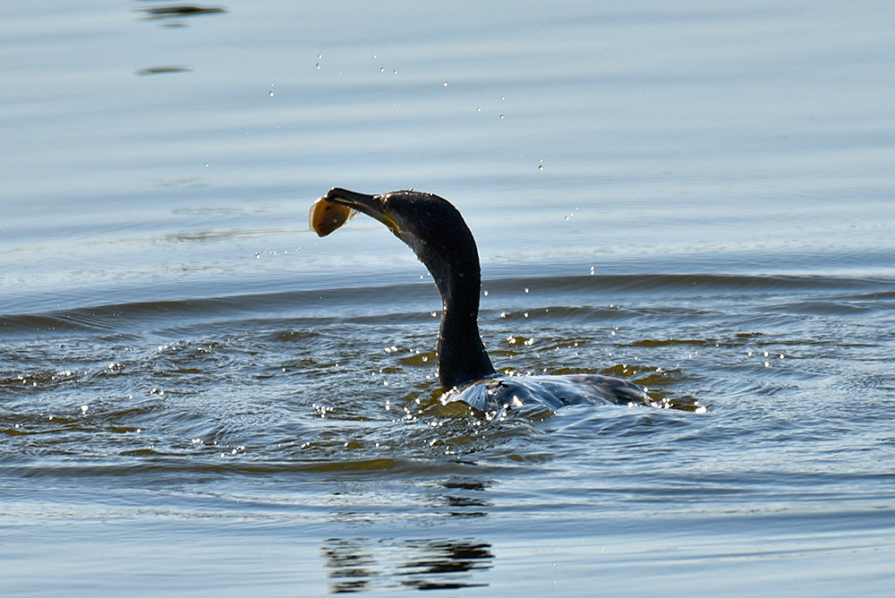 Picture of a Cormorant shaking the fish