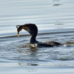 Picture of a Cormorant getting ready to swallow the fish