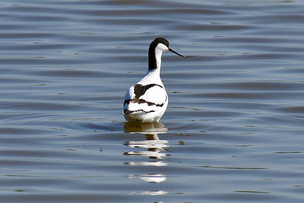 Picture of an Avocet from behind