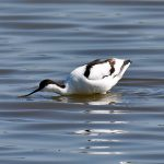 Picture of an Avocet bending forward