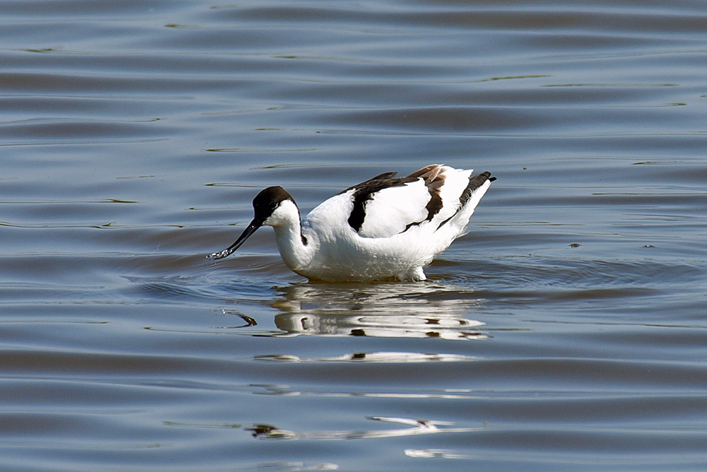 Picture of an Avocet coming up