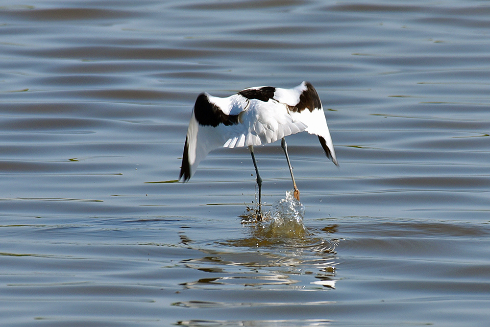 Picture of an Avocet flying off