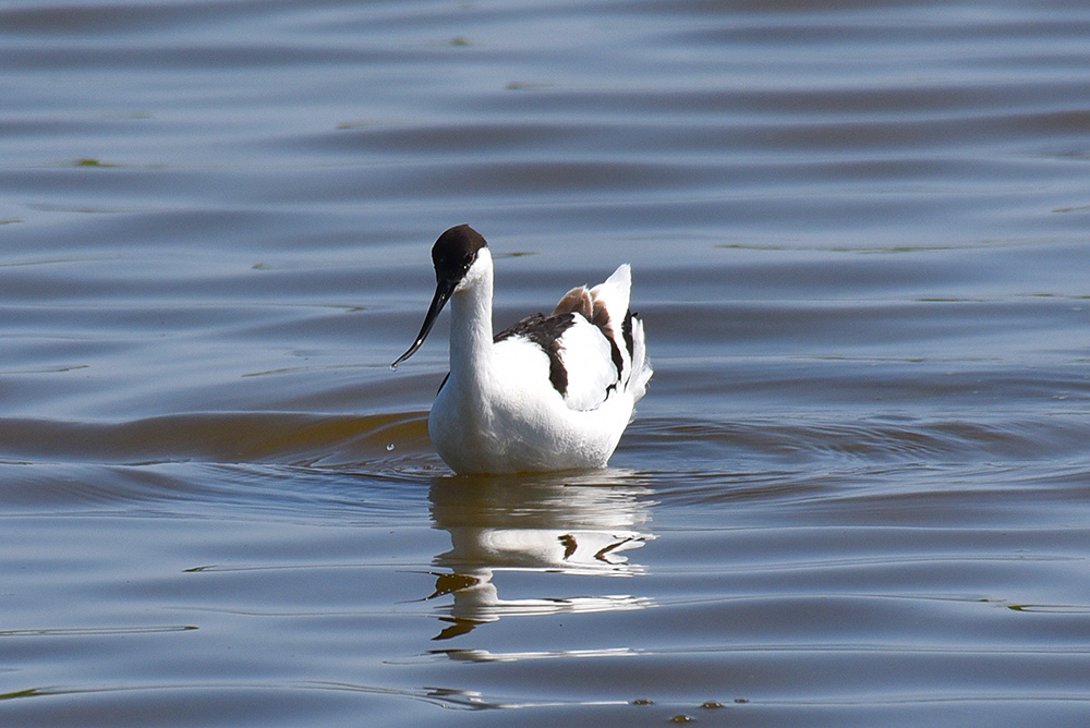 Picture of an Avocet from the front