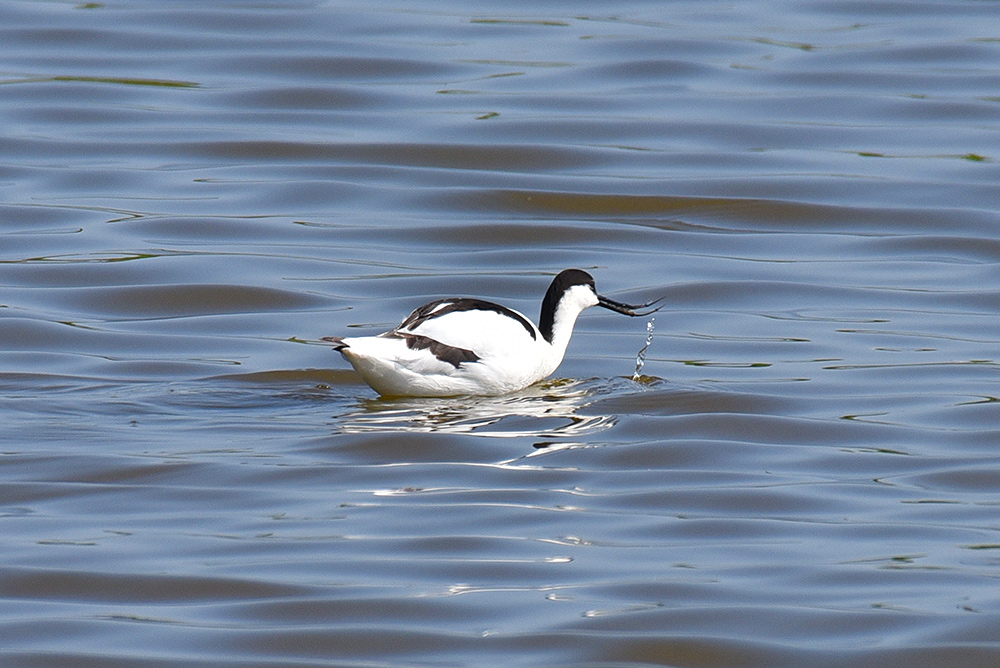 Picture of an Avocet and a splash from behind