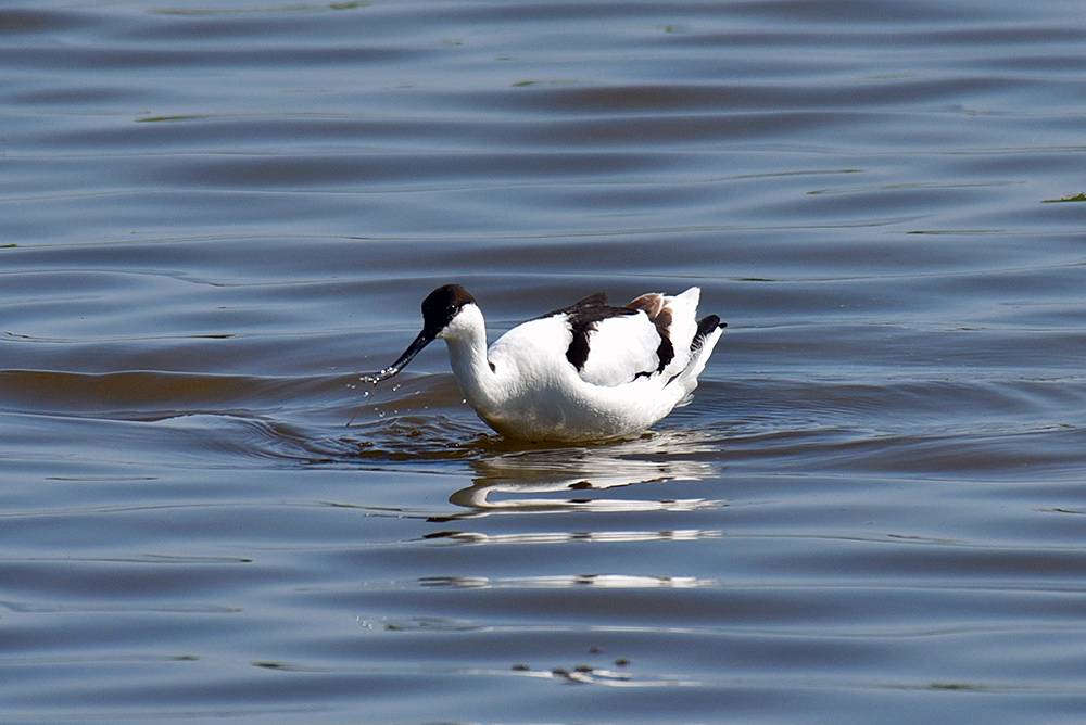 Picture of an Avocet and a splash from the front
