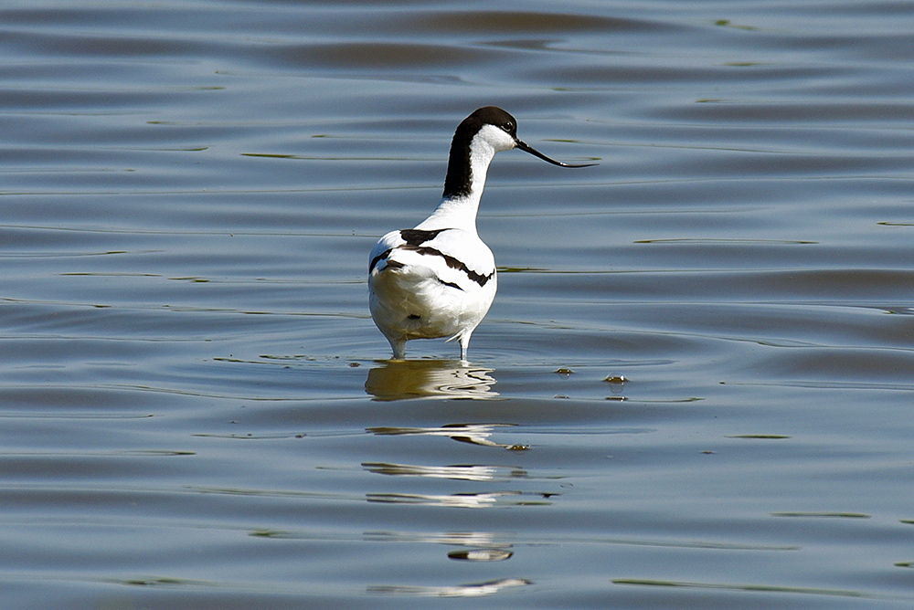 Picture of an Avocet standing up
