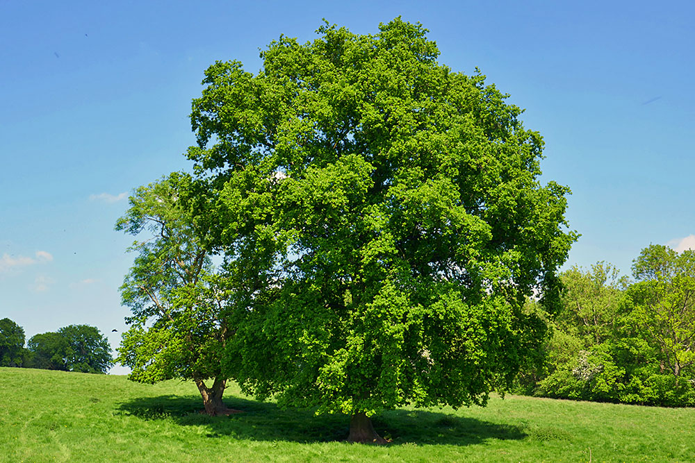 Picture of a big tree with a slightly smaller one next to it