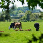 Picture of grazing and resting cattle in the sunshine, seen through a gap in some leaves