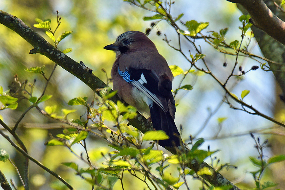 Picture of a Jay from the back, looking forward