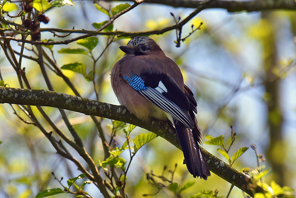 Picture of a Jay from the back, head turned sideways