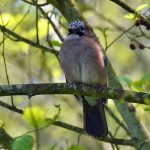Picture of a Jay from the front, head slightly turned