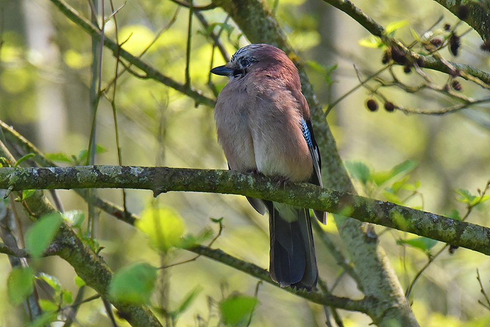 Picture of a Jay from the front, head turned sideways