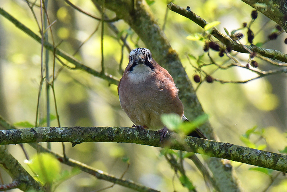 Picture of a Jay from the front, looking straight at us