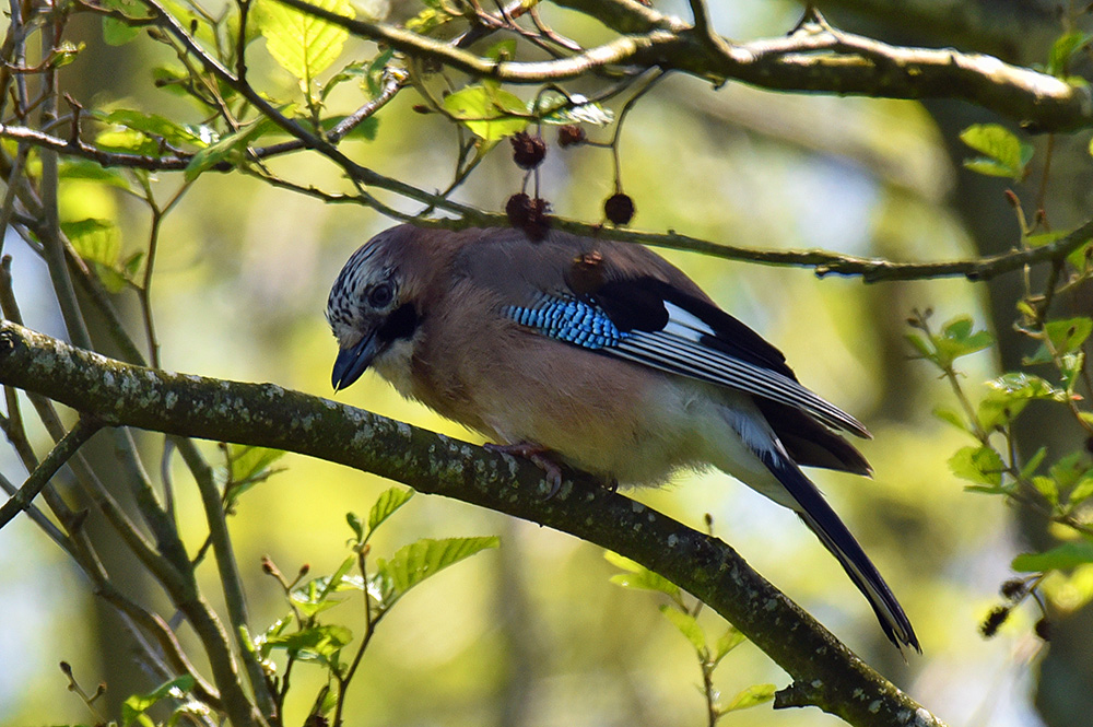Picture of a Jay from the side