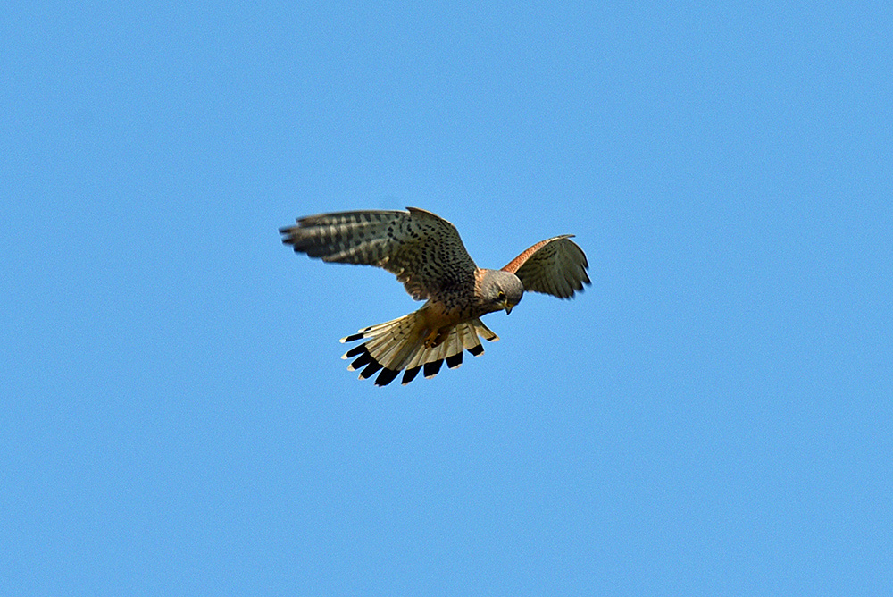 Picture of a Kestrel hovering in the air