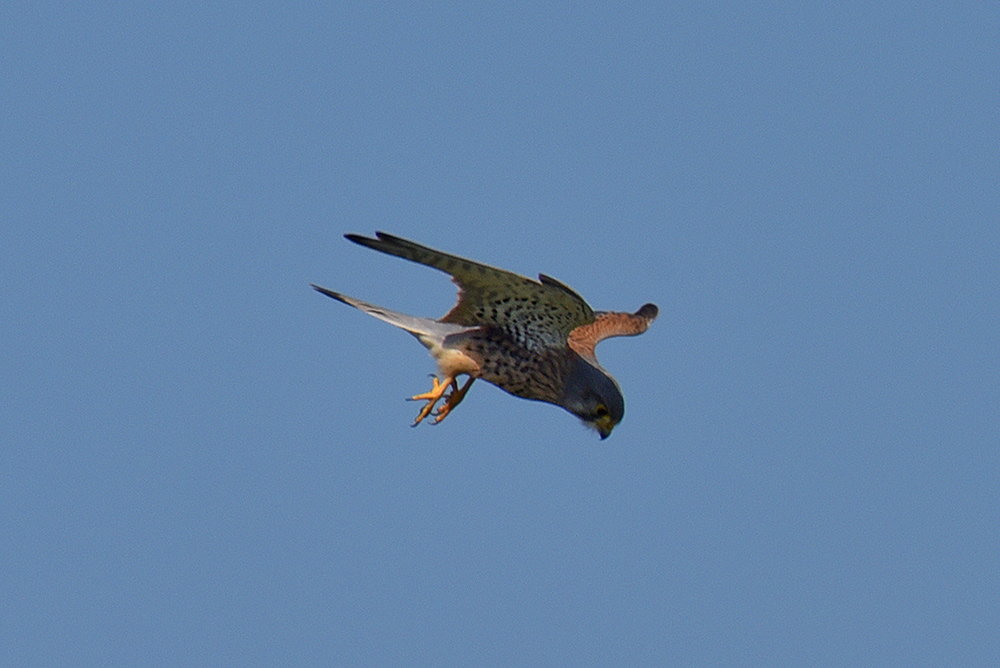 Picture of a Kestrel showing its talons, ready to catch its prey