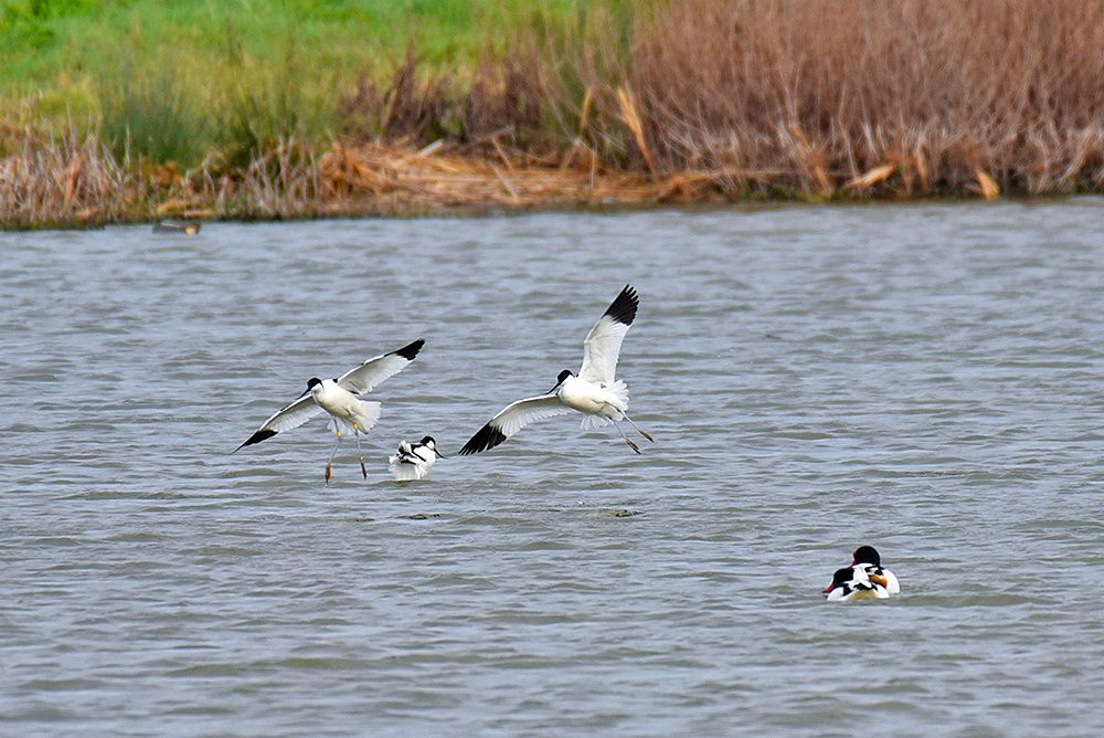 Picture of two Avocets in flight