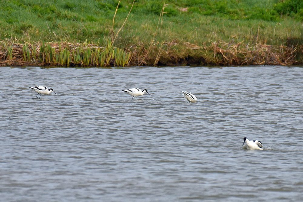 Picture of some Avocets wading on the hunt for food