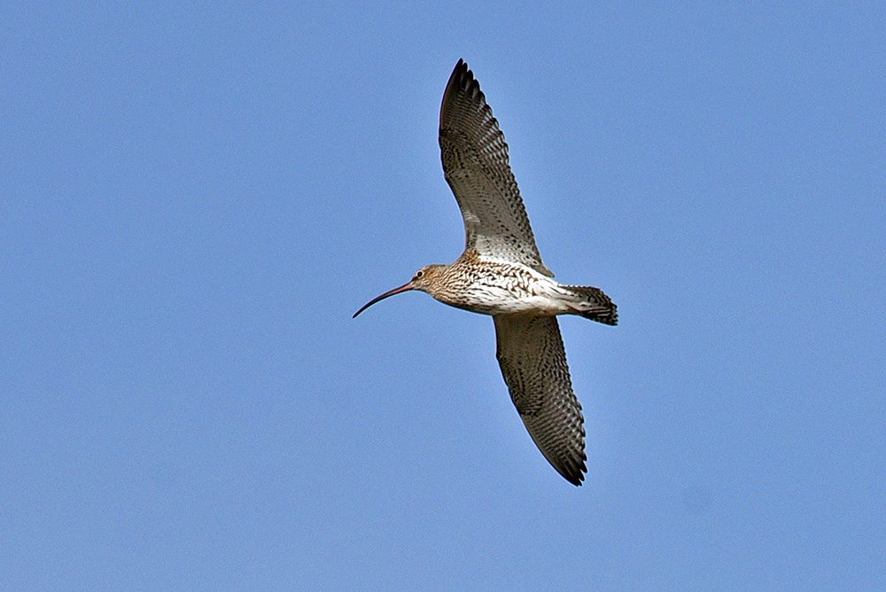 Picture of a Curlew in flight