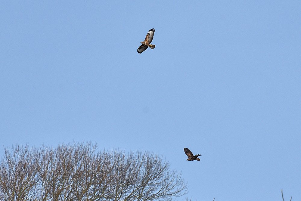 Picture of two distant Marsh Harriers