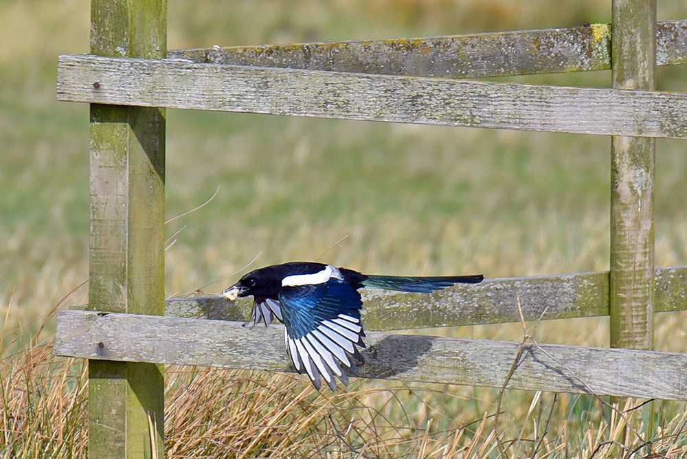 Picture of a Magpie in flight