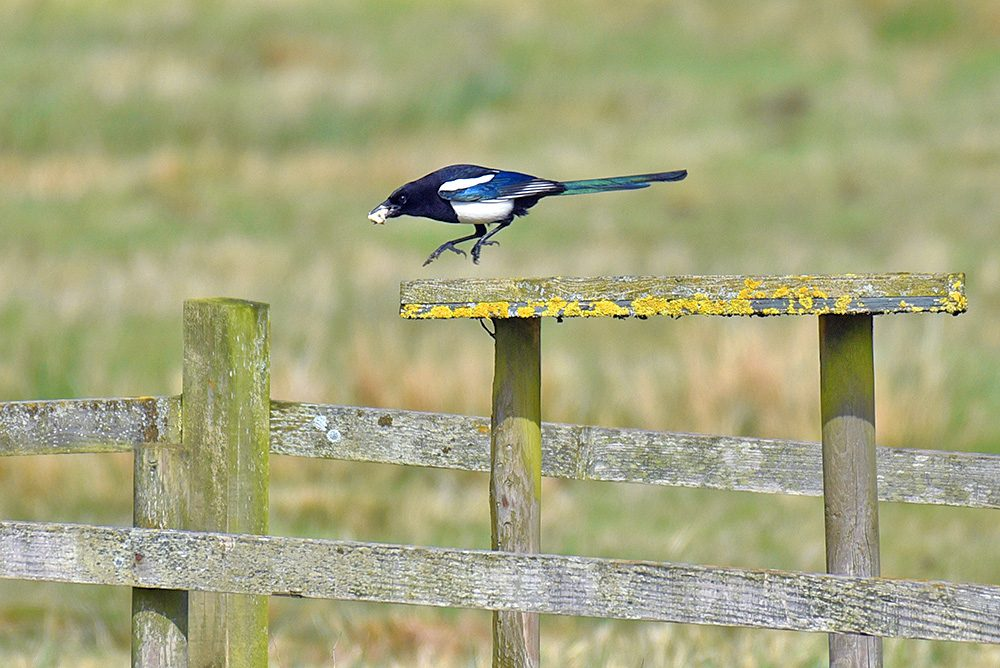Picture of a Magpie hopping on a food table