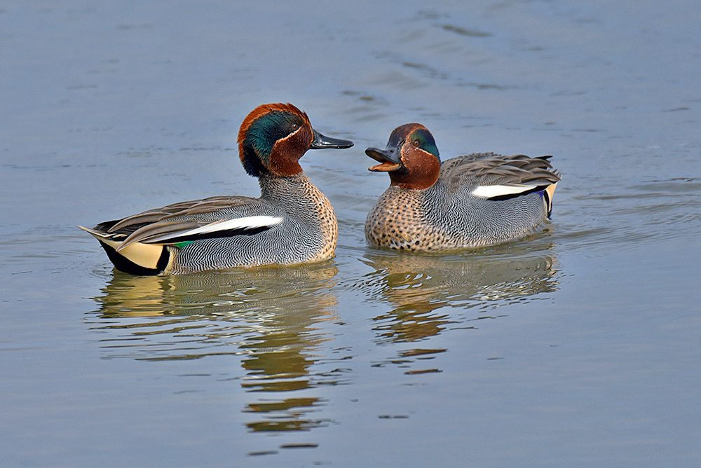 Picture of two male Teal Ducks having a chat