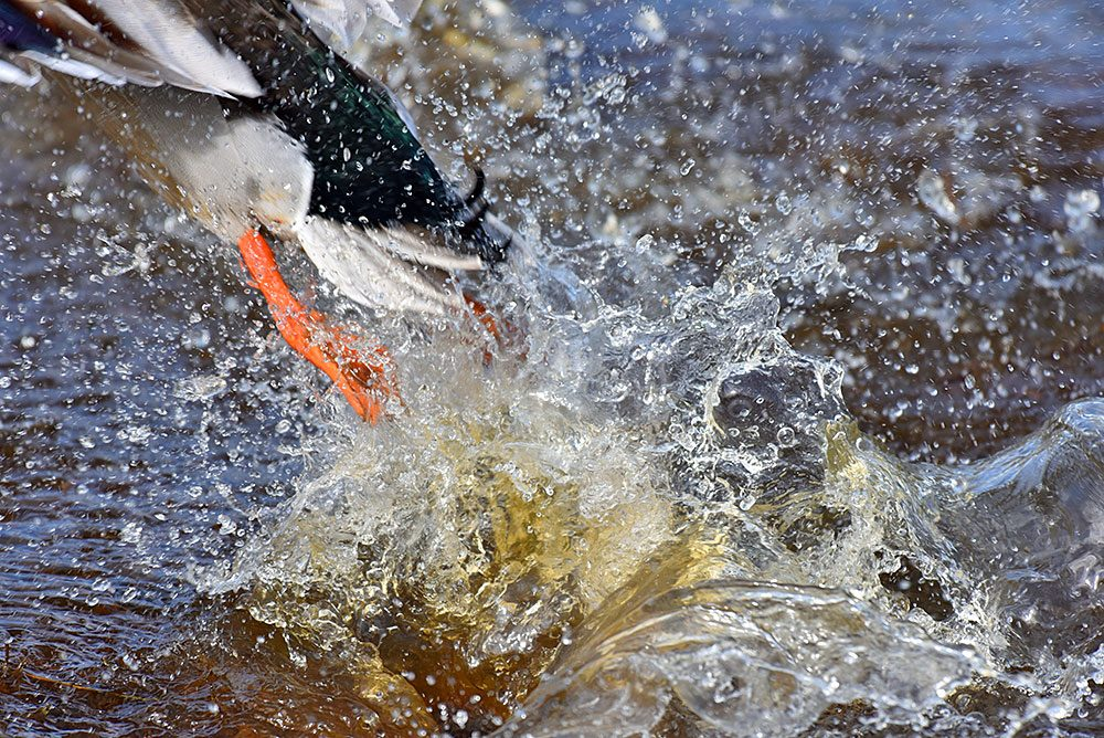 Picture of a Mallard Duck leaving behind a splash when lifting off