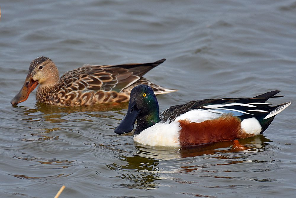Picture of a pair of Shovelers