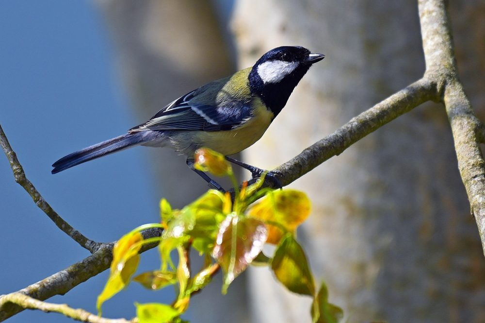 Great Tit above some fresh leaves