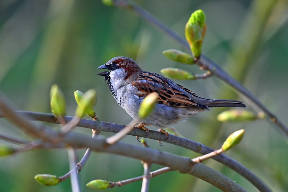 Sparrow among fresh shoots on a tree