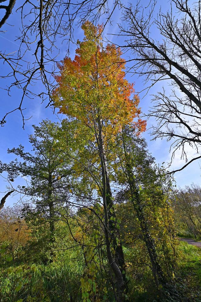 Picture of a beautiful tree in its autumn colours next to a canal towpath