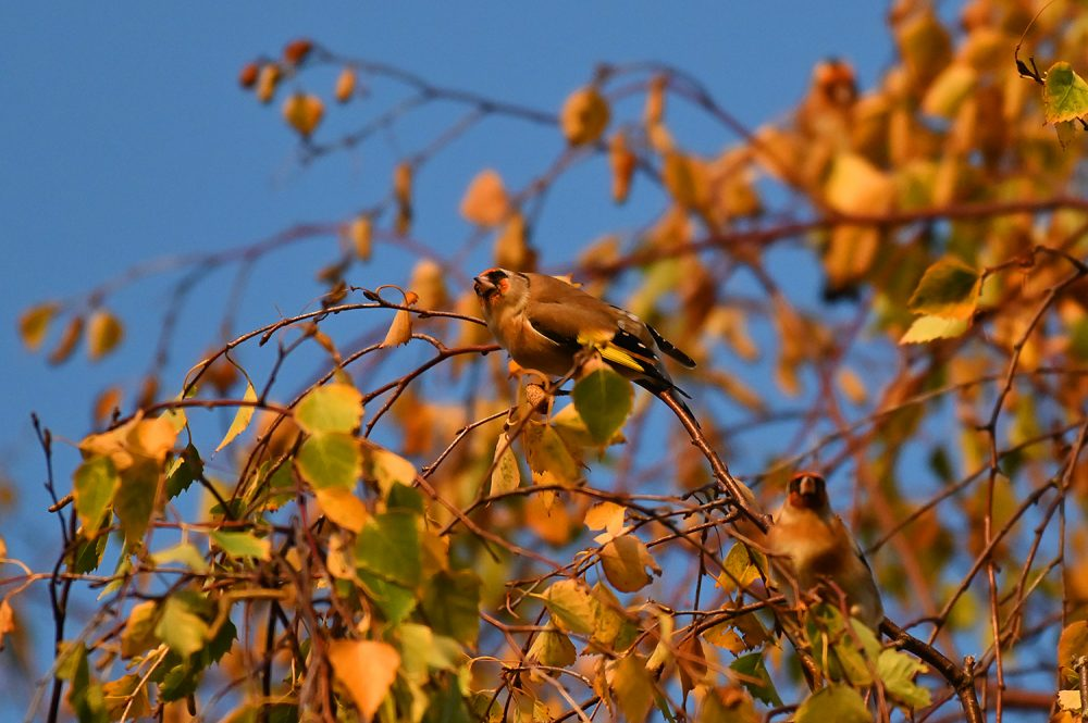 Picture of a Goldfinch in some autumn leaves under a blue sky
