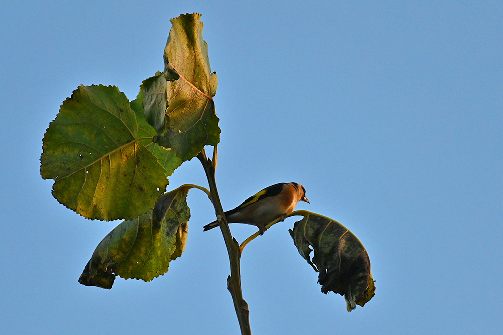 Picture of a Goldfinch on the top of a tree in the autumn afternoon sunshine