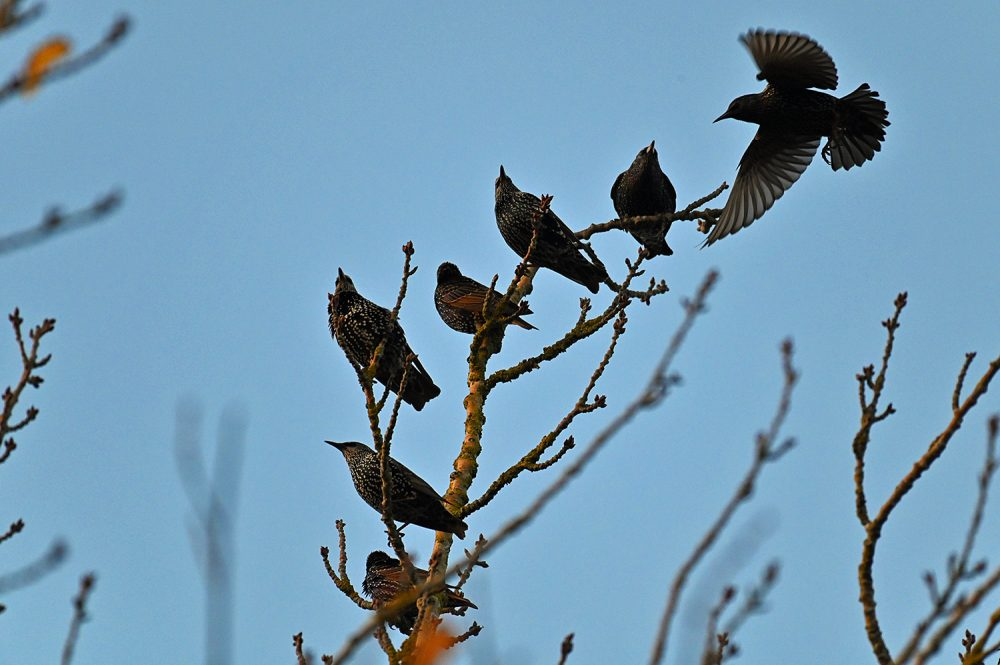 Picture of seven Starlings on the top of a branch in the autumn afternoon light
