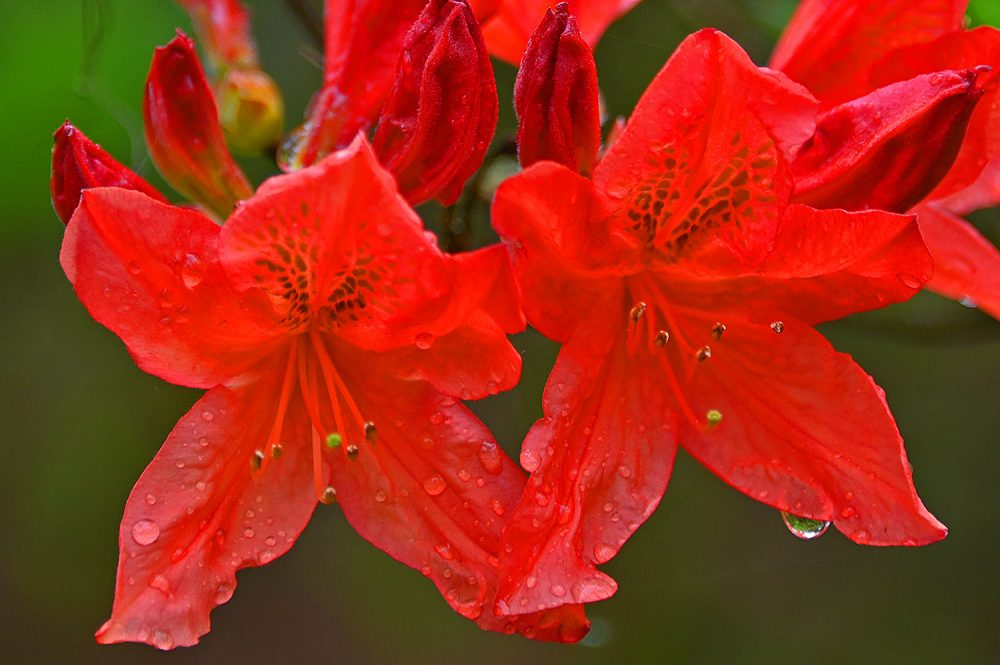 Picture of some wet red flowers after a rain shower