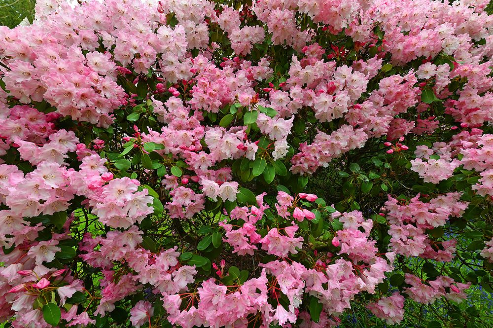 Picture of a pink Rhododendron bush with some green leaves visible