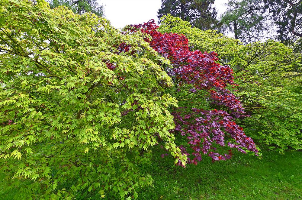 Picture of three small trees with different leaf colours, green and red