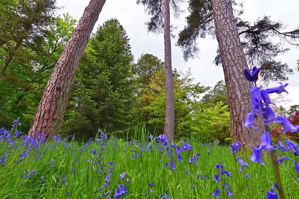 Picture of three tall tree trunks behind some Bluebells