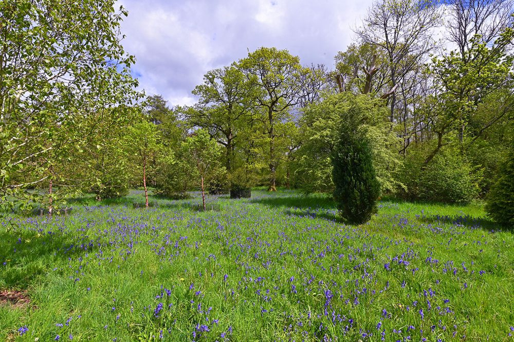 Picture of a small meadow covered in Bluebells, surrounded by trees