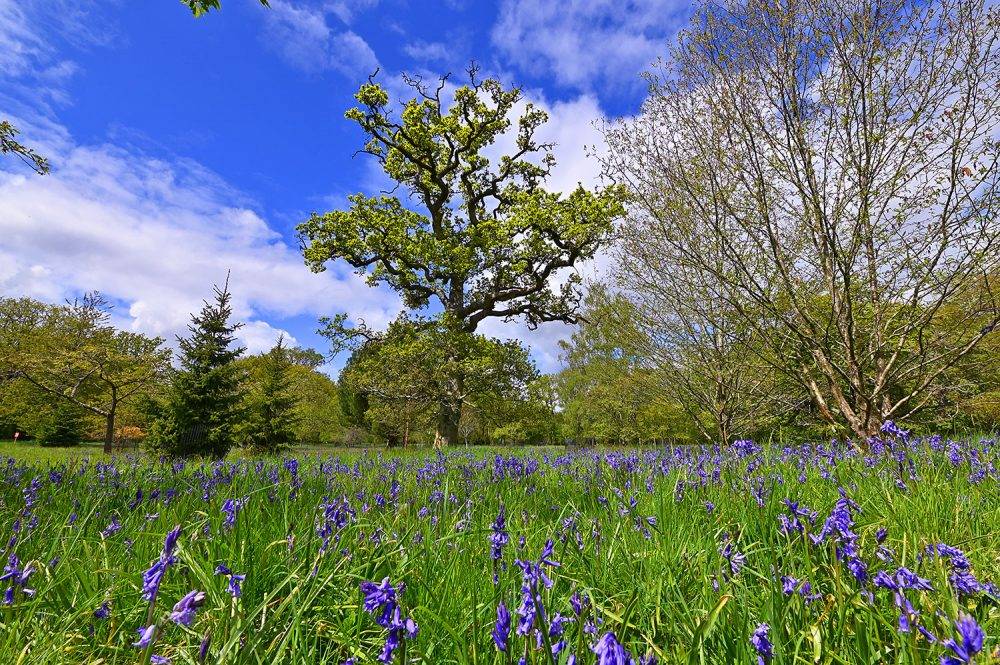 Picture of a big beautiful tree with big branches behind a field of Bluebells