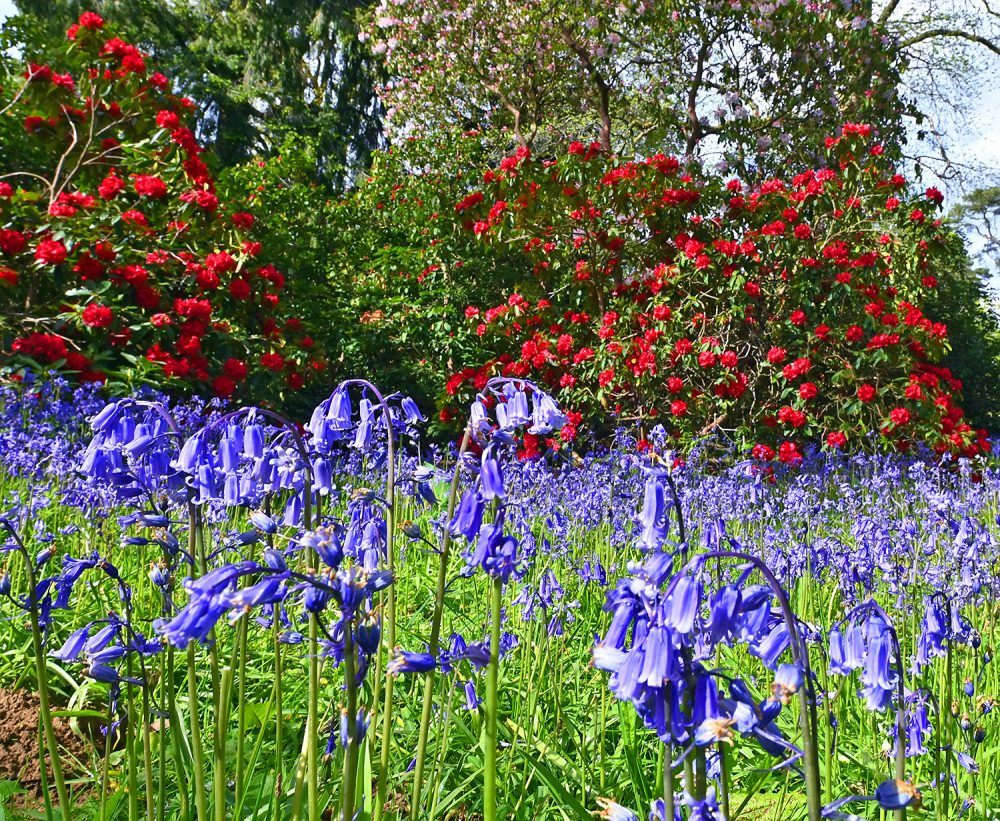 Picture of two red Rhododendron bushes behind a carpet of Bluebells