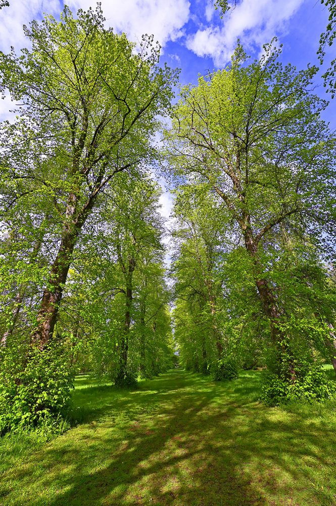 Picture of Lime Avenue at Westonbirt Arboretum in the fresh May green on a sunny afternoon