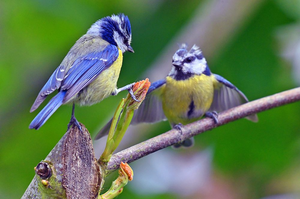 Picture of two Blue Tits on a branch with fresh shoots