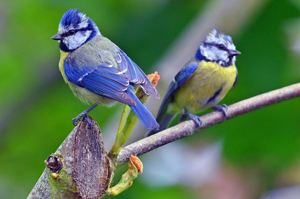 Picture of two Blue Tits back to back
