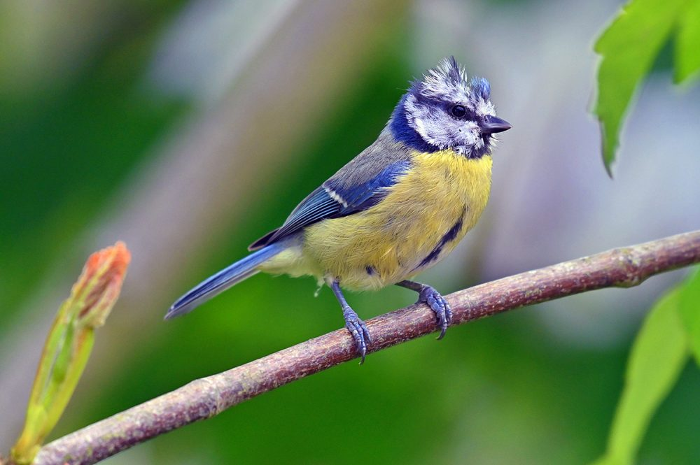Picture of a Blue Tit on a branch