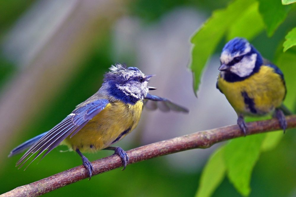 Picture of two Blue Tits talking, one has its wings open
