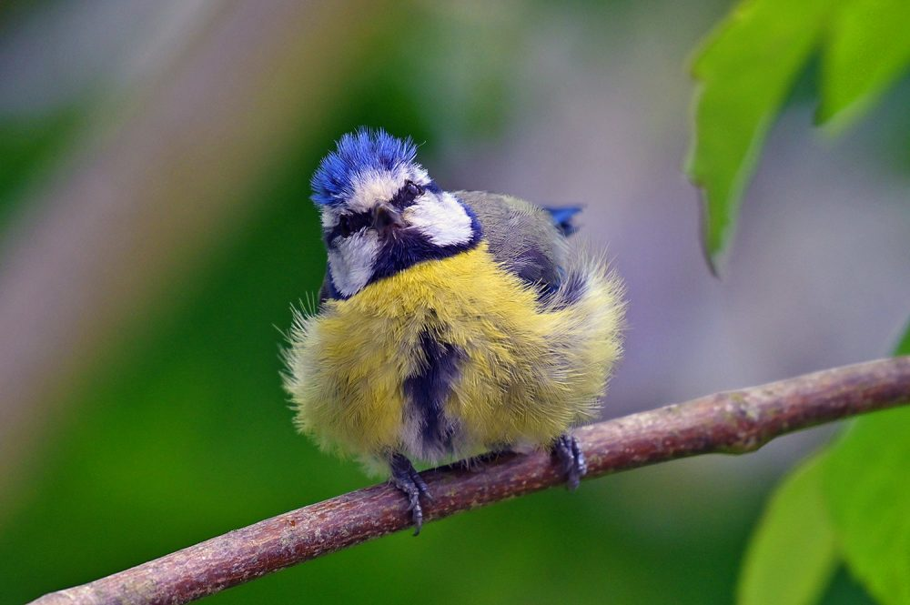 Picture of a fluffed up Blue Tit